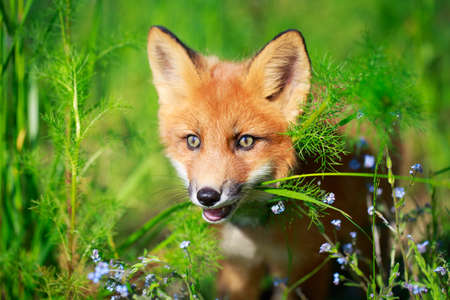 red fox pup Stock Photo - 30117164