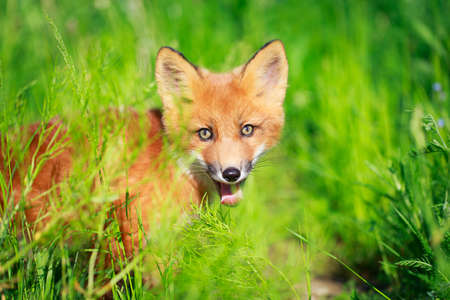 red fox pup Stock Photo - 30117167