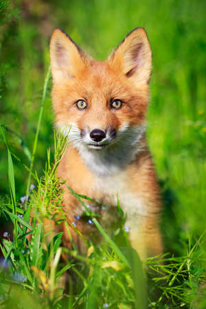 red fox pup Stock Photo - 30117169