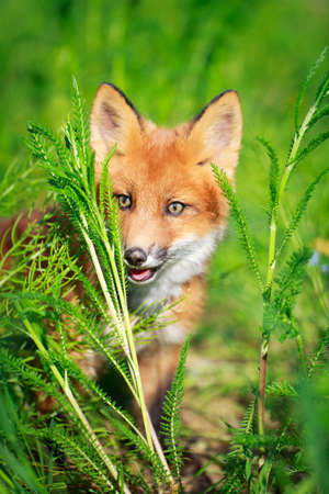 red fox pup Stock Photo - 30117178