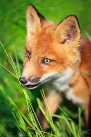 red fox pup Stock Photo - 30117181
