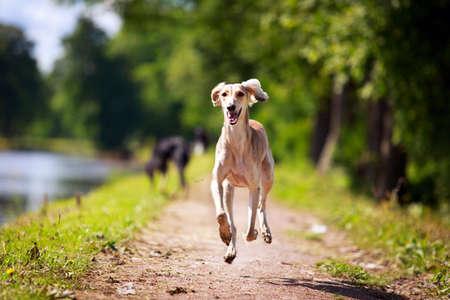 Persian Greyhound pes Reklamní fotografie