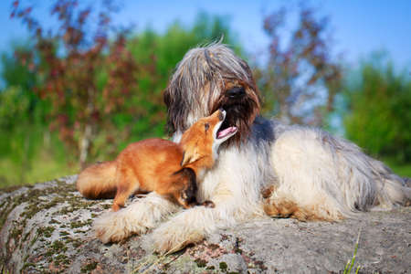 red fox pup and dog Stock Photo - 30161594