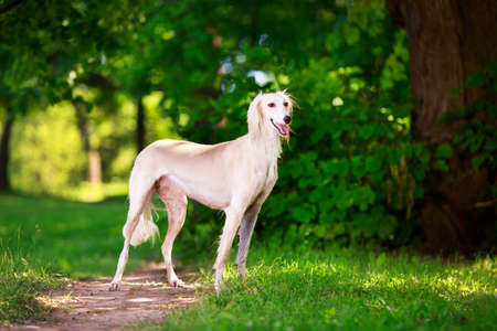 Persian Greyhound dog