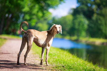 Persian Greyhound dog