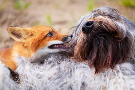 red fox pup and dog Stock Photo - 30161568