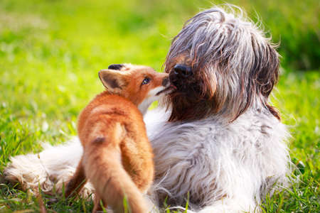 red fox pup and dog Stock Photo