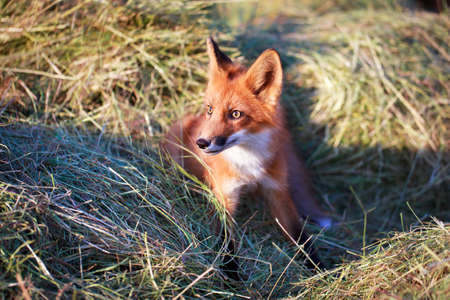 red fox pup Stock Photo - 30572119