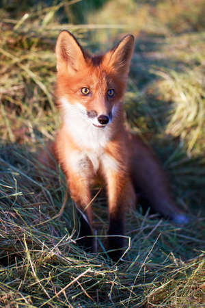 red fox pup Stock Photo - 30572120