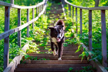 scottish collie: Border Collie dog