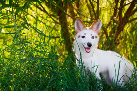 white-red fox pup Stock Photo - 30950054