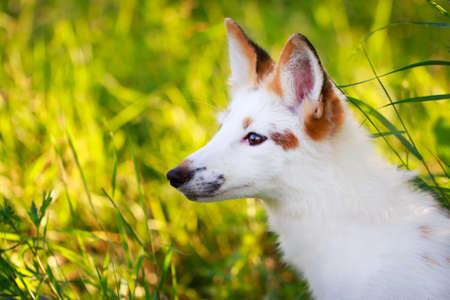 white-red fox pup Stock Photo - 30950056