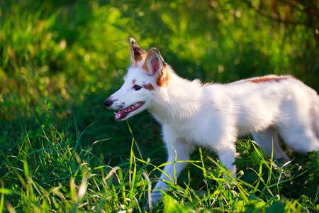 white-red fox pup Stock Photo - 30950063