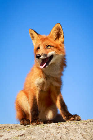 red fox pup Stock Photo - 30950035