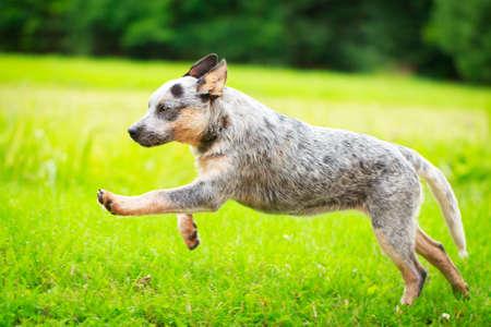 dog running: Australia ganado perro