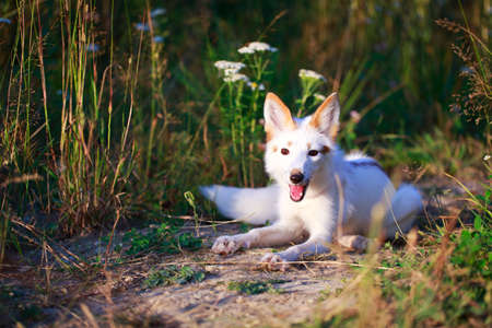 white-red fox pup Stock Photo
