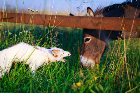white-red fox and donkey Stock Photo