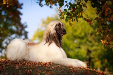 Afghan Hound dog Stok Fotoğraf