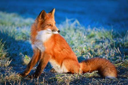 liška Reklamní fotografie