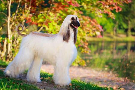 Afghan Hound dog Banque d'images