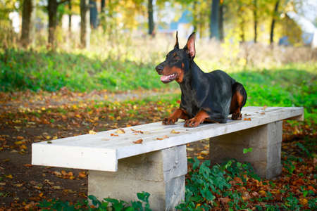 pinscher: Doberman Pinscher dog