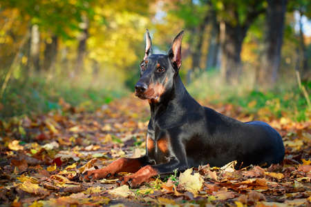 Doberman Pinscher pes Reklamní fotografie