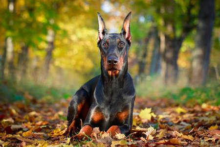 Dobrman pes Reklamní fotografie