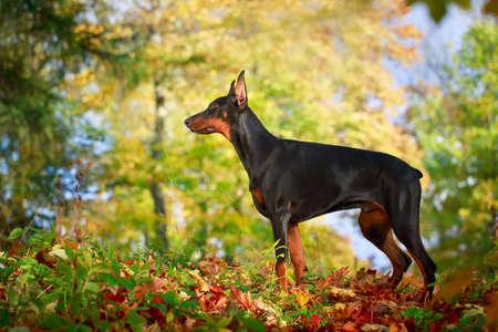 pinscher: Doberman Pinscher dog