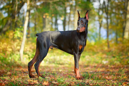 Doberman Pinscher dog