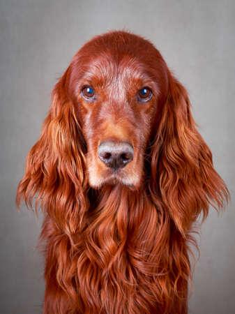 Red irish setter dog photo