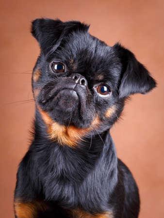 petit: Petit Brabancon dog Stock Photo