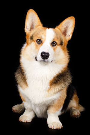 Welsh Corgi Pembroke dog