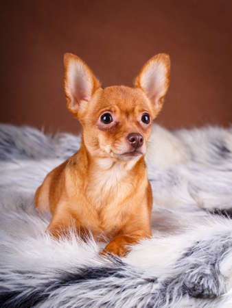 toy terrier: Toy Terrier dog