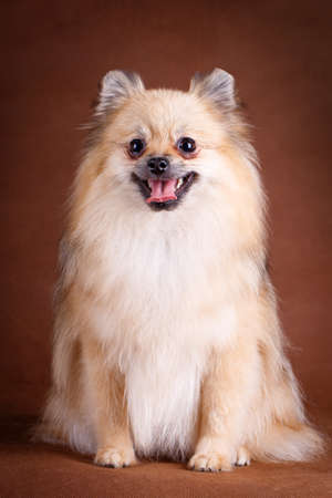 pomeranian: Pomeranian Spitz dog