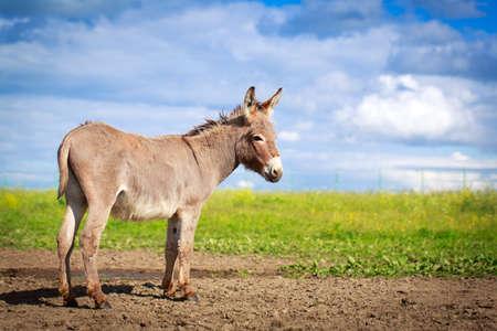 burro: Burro gris