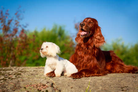 setter: setter and maltese dogs Stock Photo