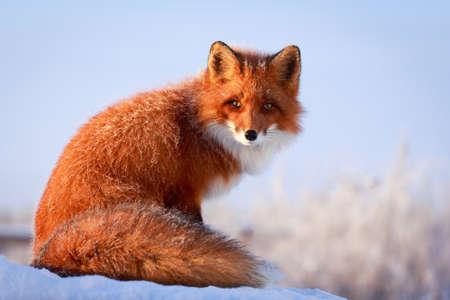 le renard roux Banque d'images - 35808415