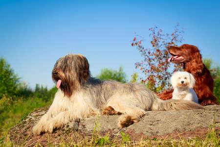 setter: setter, maltese and briard dogs