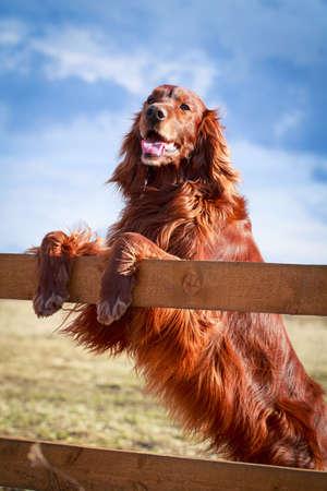 Červený irský setter pes