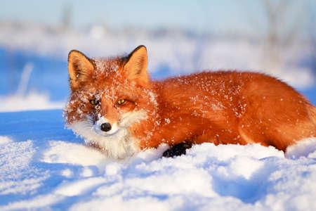 le renard roux Banque d'images