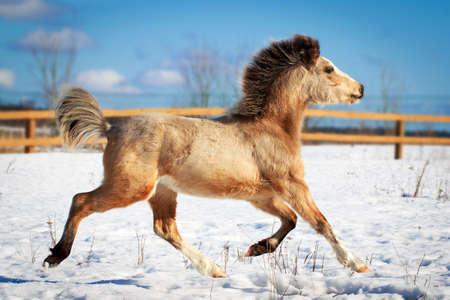 welsh pony Stok Fotoğraf