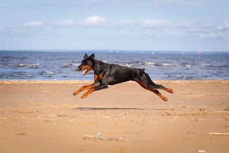 pinscher: Doberman Pinscher dog in nature