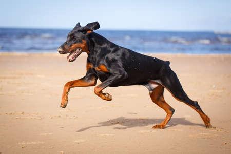 Dobrman psa v přírodě