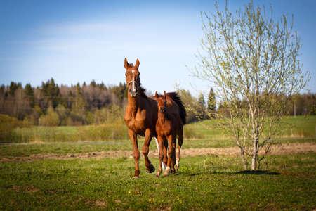 trakehner: red foal