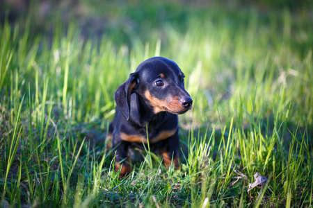 dachshund: dachshund puppy Stock Photo