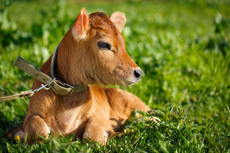 young cow Banque d'images