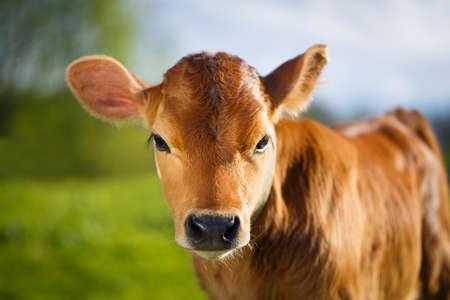 jonge koe