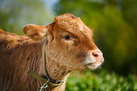 young cow: young cow Stock Photo