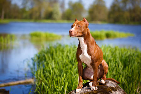 pitbull: American Pit Bull Terrier