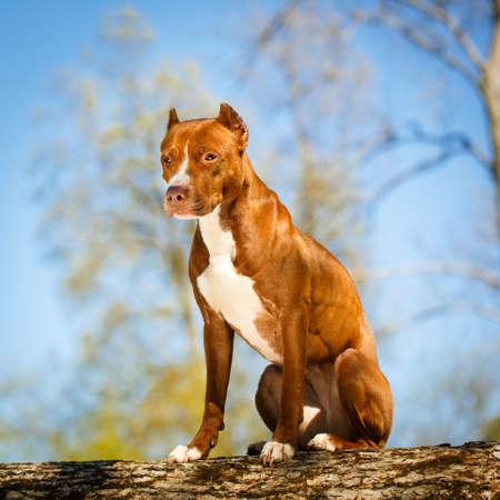 bull terrier: American Pit Bull Terrier